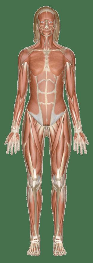 Explore Human Anatomy Physiology And Genetics Innerbody