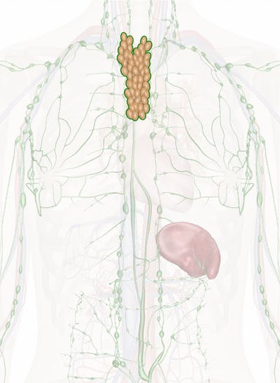 Thymus Gland Anatomy Pictures And Information