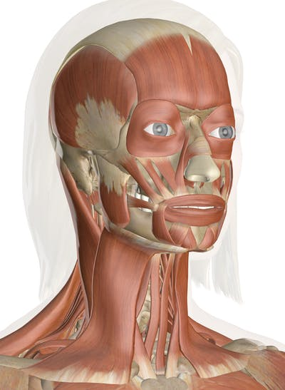Muscles of the Head and Neck - Anatomy Pictures and InformationInnerBody