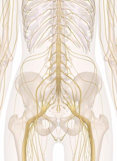 Nerves of the Abdomen, Lower Back and Pelvis