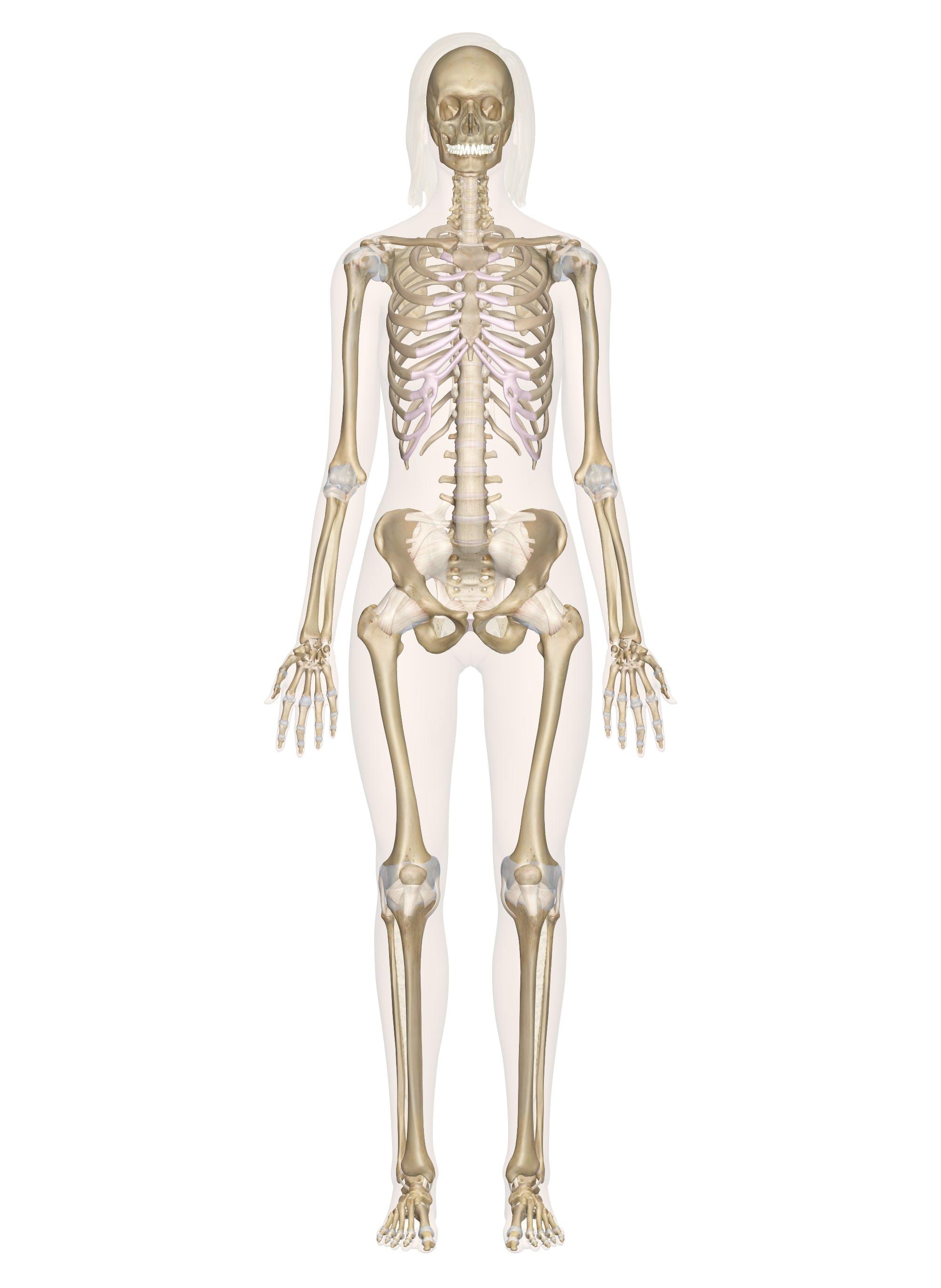 Skeletal System – Labeled Diagrams of the Human Skeleton
