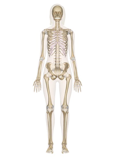 Skeletal System Labeled Diagrams Of The Human Skeleton